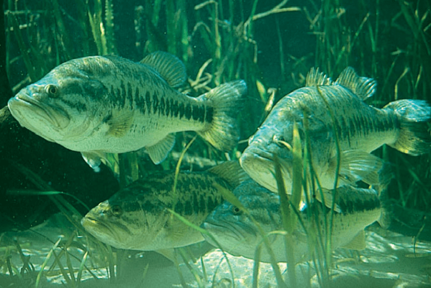 Largemouth bass habitat