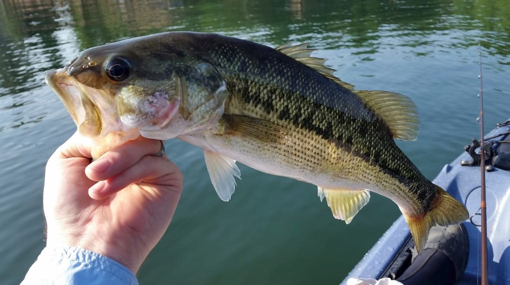 spotted bass vs largemouth